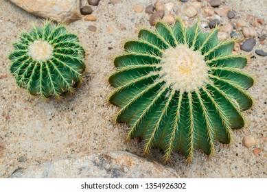 Top view Golden barrel cactus (Echinocactus grusonii),Green cactus.
