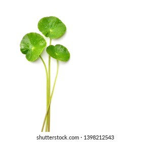Top view of Gotu kola (Centella asiatica) leaves with water drops isolated on white background. Clipping path. (Asiatic pennywort, Indian pennywort)