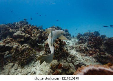 Top view of graceful nurse shark swimming above coral reef