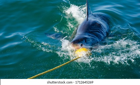 Top view of a great white shark attacking the bait, to draw closer to the cage for diving, South Africa.