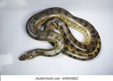 Top view of green Anaconda