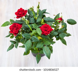 top view of green bush with fresh red rose flowers in pod on gray table
