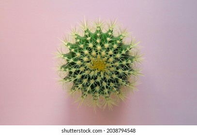 Top view of a green cactus with large sharp spines on a colored pastel background. Houseplant Golden Barrel Cactus, Echinocactus Grusonii Plant. Close-up, copy space.