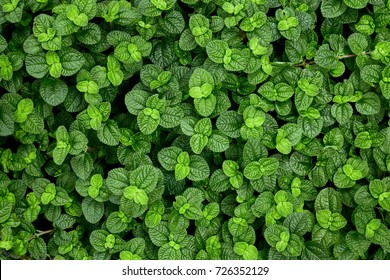 Top view of Green Creeping Charlie leaves for background