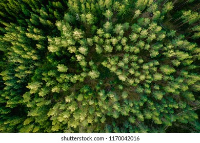 Top view of the green forest trees. Aerial photo.