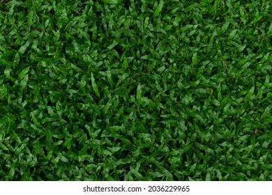 Top view green grass of Nuan Noi Grass or Manila Grass. scientific name Agrostis matrella L.; Zoysia pungens Willd.; Z. tenuifolia Willd. ex Thiele. for background and textured.