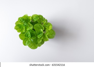 Top view green leaf mint plant in pot isolated on white desk background