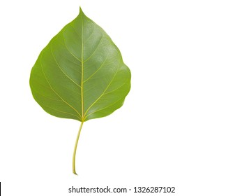 Top view green leaf shape heart (nature color) of Ficus religiosa (Bo Tree, Bodhi Tree, Pipal Tree) isolate on white background.