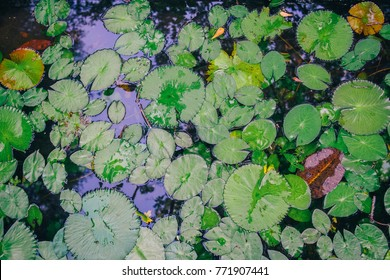 Top View Green Leaves Lotus or Hardy Water Lily Plant of Nymphaeaceae family on dark surface of pond with water glowing reflection ripples background. Concept of Buddhism, Enlightenment, Calm, Peace