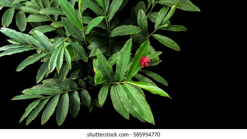 Top view of green leaves with red flower bloom of red ginger (Alpinia purpurata), tropical forest plant growing in wild on black background.