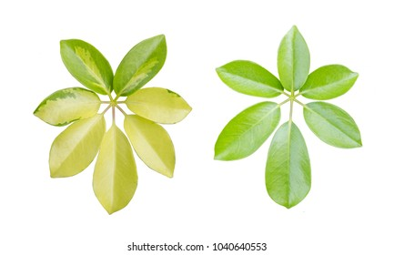 Top view of green leaves and yellow leaves on white background, Isolated
