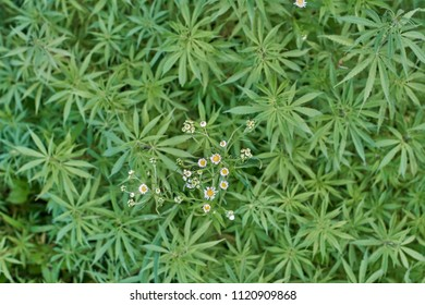 A top view of green plants and marijuana growing wild