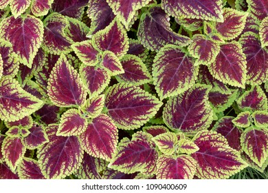 Top view of green and purple leaves