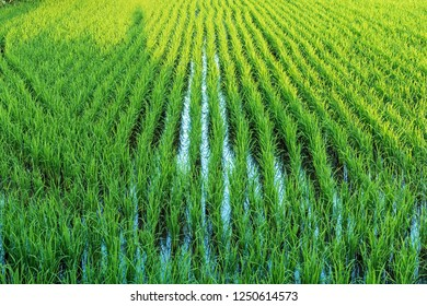 Top view of green rice field as background in northern of Thailand
