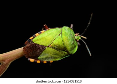 Top view Green shield bug (Pycanum rubens)