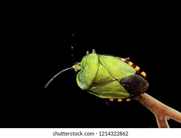 Top view Green shield bug (Pycanum rubens)