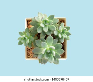 Top view green succulent cactus in pot on ligth blue background, decoration concept