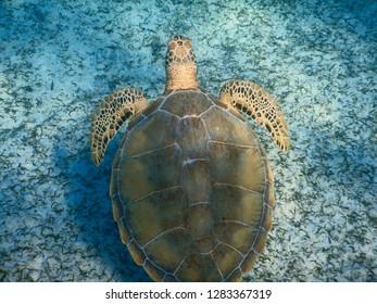 Top view of green turtle (Chelonia mydas) swimming over sea floor, Bahamas