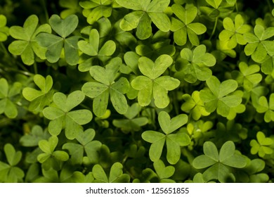 Top view of a group of clover plants on the nature.