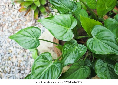 Top view of heart shape leaf foliage with gravel ground. The common name of this plant is Arrowhead plant, Arrowhead vine, Arrowhead philodendron, Goosefoot, African evergreen or American evergreen.