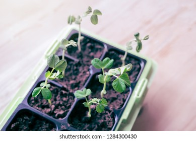 Top view of homegrown organic green Snow pea seedlings growing in natural window light inside in the kitchen at spring - Self-sufficient vegetable garden with healthy, fresh food
