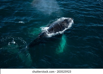 Top view of Humpback whale in Antarctica