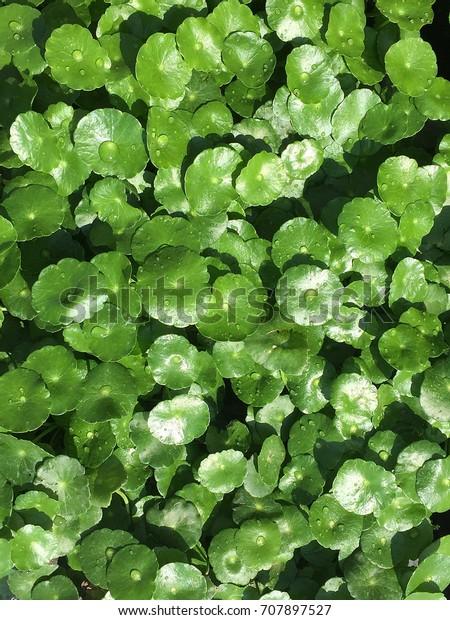 Top View Hydrocotyle Outdoor Decorative Plants Stock Photo Edit