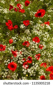 Top view image of red poppies and white wildflowers in Tuscany
