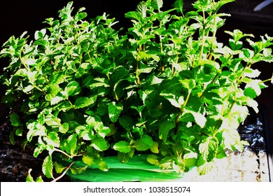 Top view of Kitchen Mint or Marsh Mint name in science Metha cordifolia Opiz.  Labiatae. Plant in pot and wrapped in green plastic on road in market around sunshining, Homegrown vegetable concept