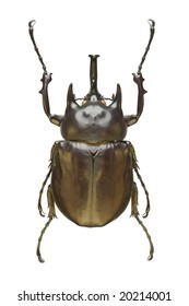 Top view of a large Rhinoceros Beetle (Megasoma actaeon) from the Dynastidae family originating from Peru