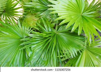 Top view of leaves saw palmetto, Abstract leaves texture, Ecological Concept, Space for text in template (sabal palm, Serenoa repens)