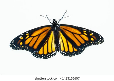 Top view of a living female Monarch butterfly. The wings are open and it has recently emerged from the chrysalis.