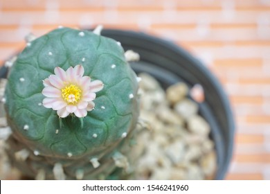 Top view lovely pink flower of Lophophora williamsii (peyote) in black pot. Copy space.