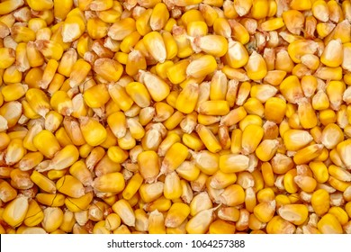 Top view of many loose kernels of yellow dent corn (maize) (binomial name: Zea mays var. indentata) grown for animal feed on a farm, for background or element with themes of harvest, agriculture, food