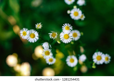 Top view of Marguerites in a shadowed part of meadow.