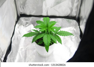 Top view. Marijuana in grow box  tent. Cannabis Plant Growing. Growing marijuana at home Indoor. Cultivation growing under led light. Vegetation of Cannabis Growing.
