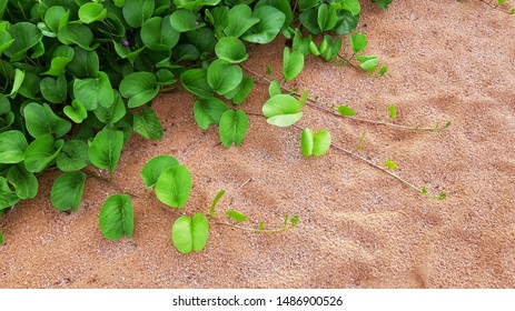 Top view of the morning glory bush on the sand beach.