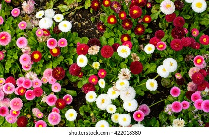 Top view of multi color garden daisy flowers
