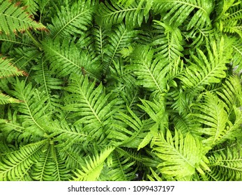 Top view of Nephrolepis exaltata or Boston Ferns - leaf green background