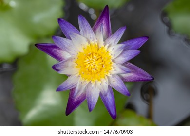 Top View of Nice and Beautiful Lotus, Water Lily, Nelumbo nucifera or Sacred lotus, Indian lotus and Sacred water-lily.The Lotus plant is an aquatic perennial, gardens.