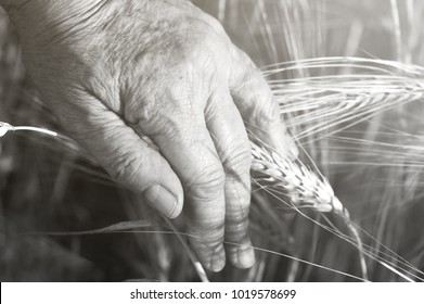 Top view of  old hand farmer with wheat grain and ear on blur wheat field background. Successful completion of the harvest season. Black and white