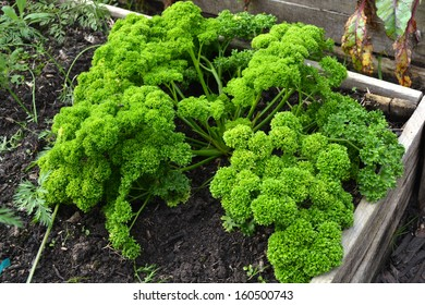 Top view on a big bunch of fresh healthy green parsley in an organic vegetable and herb garden.