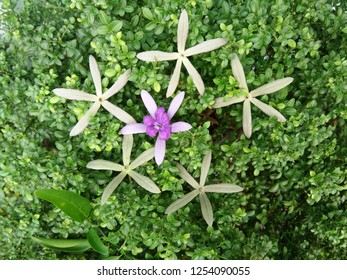Top view on blossom Purple Wreath, Queen's Wreath, Sandpaper Vine, Bluebird Vine, Petrea volubilis flowers on top of green leaves of Orang Jessamine, China Box Tree, Andaman Satinwood, Chinese Box-woo