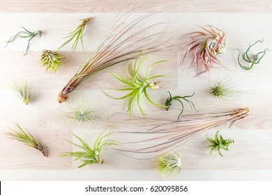 Top view on different tillandsia air plants on wooden background