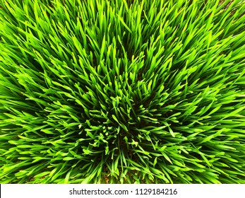 Top view on green wheatgrass for organic lifestyle concept
