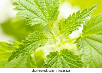 Top view on growing common nettle (Urtica dioica) at spring over light background
