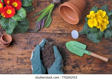 top view on soil in gardener hands among primrose and hyacinth on wooden rustic table