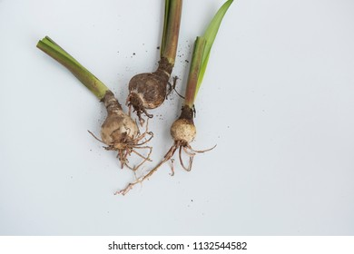 Top view on uprooted lily plant bulbs with long waxy leaves trimmed off. Isolated on white background.