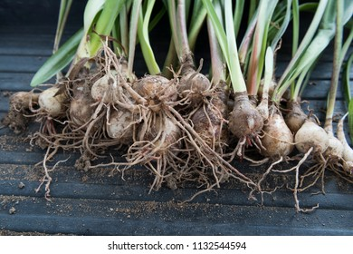 Top view on uprooted lily plant bulbs with long waxy leaves and roots. Black container background.