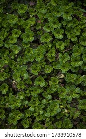 Top view on wild-growing multi-planting Saxifrage paniculata. Sprouts of wild plants in the garden on a bed in a warm spring day.